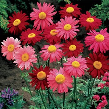 (Outsidepride Chrysanthemum Robinson's Plant Flower Seed Mix - 10000 Seeds)
