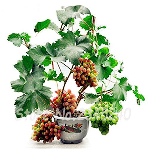 50 Seeds Miniature Grape Vine Seeds Vitis vinifera Organic Fruit Seeds Succulent Plants 3#32789145268ST