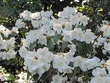 Gartenstrauch 9 Cm Zwerg Rhododendron Schnee Lady Agm Große