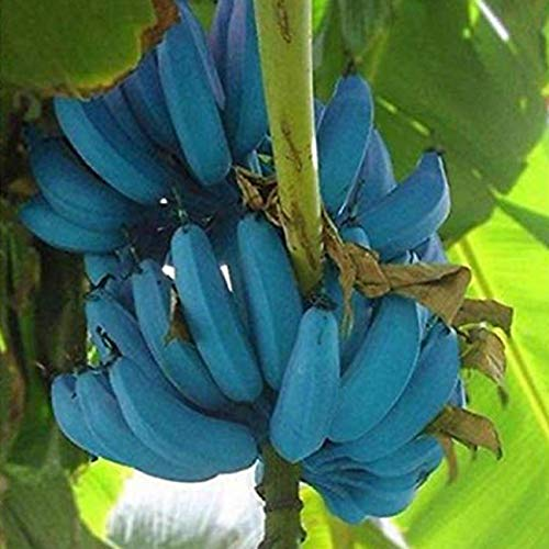 Flower Seeds Vegetable Seeds - Banana, Tulip, Sunflower, Marigold, Zinnia, Cosmos, Daisy, Calendula, Coneflower, Bachelor Button, and Aster Flowers (200Pcs Blue Banana Seeds)