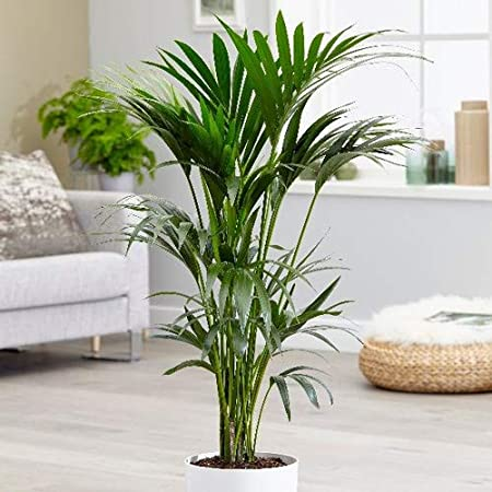 Trothic Gardens Kentia Palm Live Indoor Table Plant (1 Healthy Live Plant):  Amazon.in: Garden & Outdoors