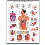 """3B Scientific VR1422L Glossy Laminated Paper The Gastrointestinal System Anatomical Chart, Poster Size 20"""" Width x 26"""" Height"""