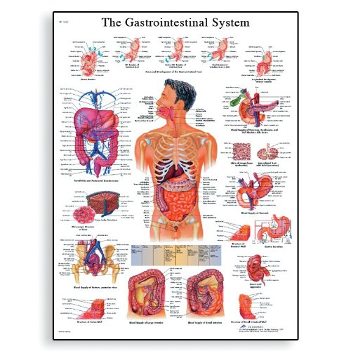 3B Scientific VR1422L Glossy Laminated Paper The Gastrointestinal System Anatomical Chart, Poster Size 20