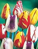 10 Rembrandt Mix Tulip Bulbs - Tulipa Parrot