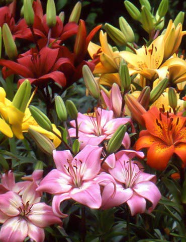 Asiatic Lily Mix | 8 Pack of Asiatic Lily Mix Bulbs | Perennial Lily Flower Bulbs by Holland Bulb Farms