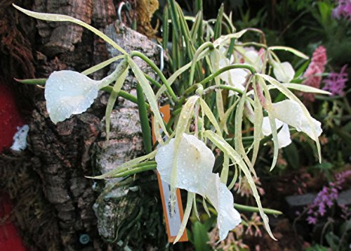 Lady of the Night Orchid: Brassavola nodosa - Kindle edition by ...