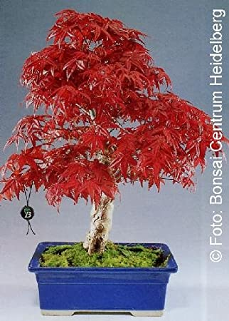 Tropica Red Japanese Maple Acer Palmatum Atropurpureum 20
