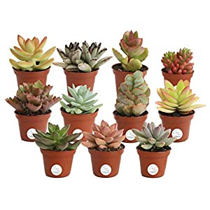 Costa Farms Unique Succulents Indoor Plants 11-Pack, Grower's Choice, 2-Inch Round, 10
