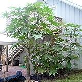 CASTOR BEAN ZANZIBAR green ricinus communis 50 seeds