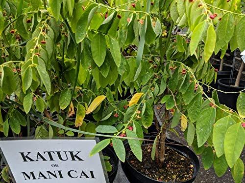 Ferrys Seed - FERRY Organic Seeds: Katuk, Mani CAI (Chi), amame Shi (Jap), rau ngot, Sauropus androgy 1
