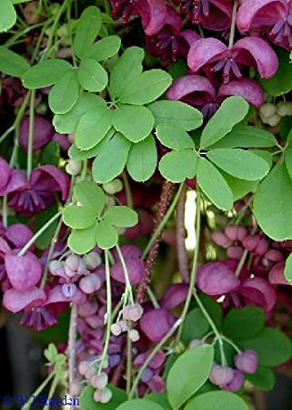 Amazon tropica chocolate vine akebia quinata 10 seeds tropica chocolate vine akebia quinata 10 seeds tropical magic mightylinksfo