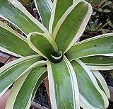 1 Bromeliad Neoregelia Skotak's Big Bubba Stunning Gorgeous Giant Amazing Plant!
