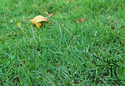Weithin kultiviert hundszahngras Samen 1800pcs, Familie Süßgräser ...