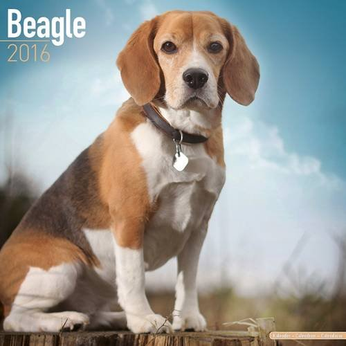 Beagle Calendar - Breed Specific Beagles Calendar - 2016 Wall calendars - Dog Calendars - Monthly Wall Calendar by Avonside