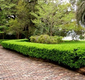 Winter Gem Boxwood - Live Plants Shipped 1 Foot Tall by DAS Farms