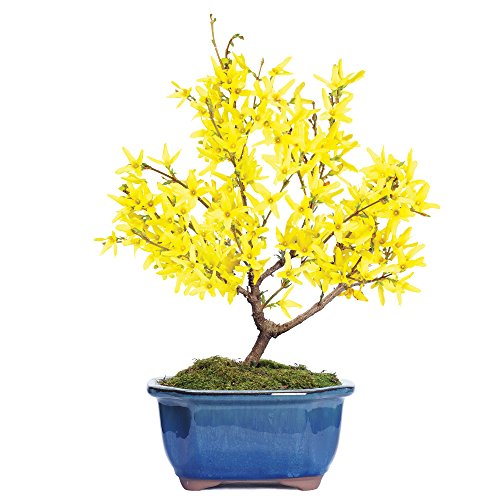 Brussel's Forsythia Bonsai - Medium - (Outdoor)