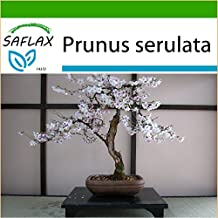 SAFLAX - Bonsai - Wild Black Cherry (Prunus serulata) - 30 seeds - Outdoor Bonsai - With potting soil