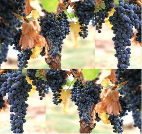 New Wine Grape Fruit 30 Seeds - Vitis Vinifera - Combined S&H (Wine Grape Bonsai Tree)