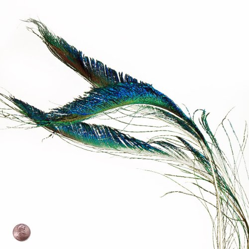 Peacock Sword Feather (10 Per Pack) - Male Peacock