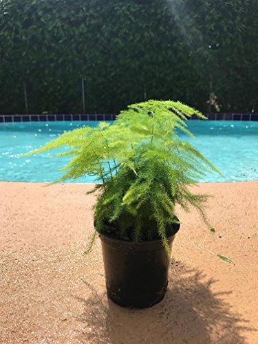 Asparagus Fern Plumosus Setaceus Live Plant 4