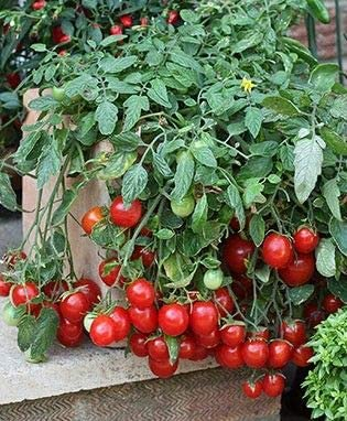 Tomato Plants Cherry Falls 6 Buy Now! Plug Plants