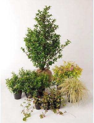 ブリーゼ ブループリンセス 日なた 半日蔭 セットアップガーデン 植木 苗 庭木 セット商品