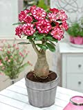 Bee Garden Desert Rose Adenium Live Plant (Grafted Live Plant)