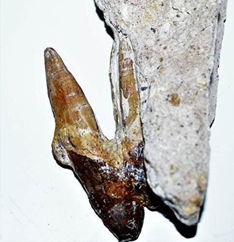 BASILOSAURUS Tooth Fossil Late Eocene 40 Million Years Old #14333 7o by Fossils, Meteorites, & More (Image #1)