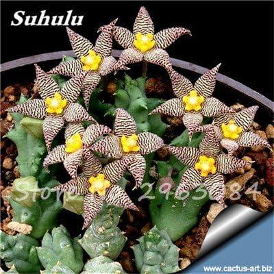 Gran venta! 50 Pcs semillas de cactus raras plantas suculentas mini jardín Plantar, comestible belleza de la fruta vegeable semillas de plantas hierbas 21: Amazon.es: Jardín