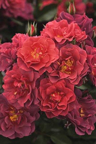 """Cinco de Mayo Rose - Mysterious Color Blending - 4"""" Pot"""