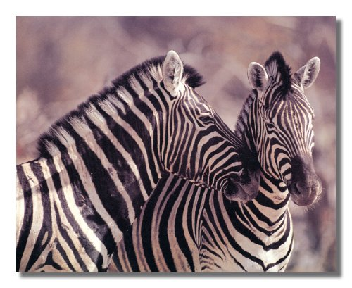 African Striped Zebras Hugging Photo Wall Picture 8x10 Art Print (Zebra Kitchen Decor compare prices)