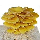 Mushroom Mojo Yellow Oyster Mushroom Growing Kit - Indoor / Outdoor Fungi Complete Grow Block Kit