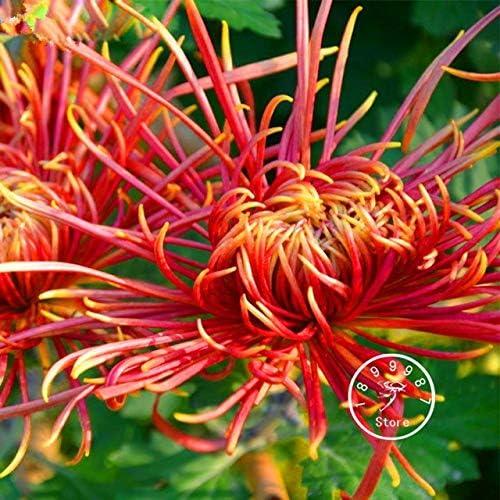 Green Seeds Co. 100 PC/paquete crisantemo plantas Bonsai flor planta jardín muy fragante: 13: Amazon.es: Jardín