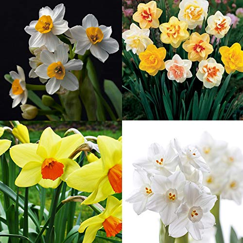 800Pcs Mixed Daffodil Double Narcissus Bulbs Seeds Spring Flower Garden Plant Daffodil ()