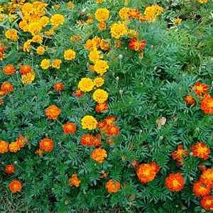 Outsidepride Marigold Mix - 1000 Seeds