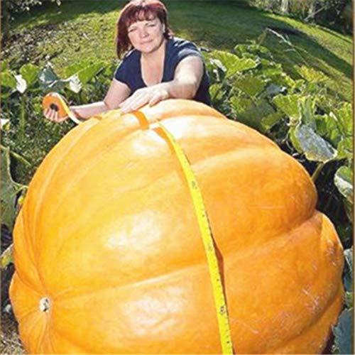 20 Pcs Super Large Pumpkin Vegetable Non-GMO Edible Yellow Squash DIY Fruit Bonsai Halloween Fun Plants for Home Garden Planting]()