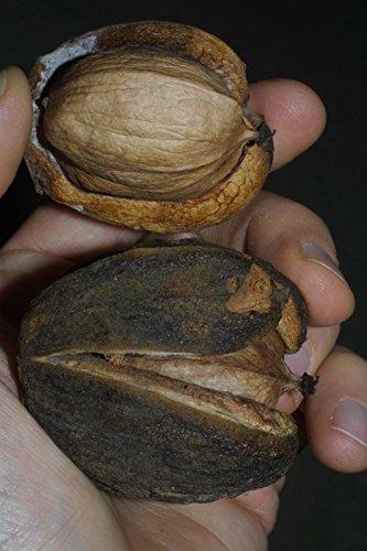 shellbark-hickory-king-nut-carya-laciniosa-tree-1-seeds
