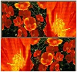 The Dirty Gardener California Poppy Mikado Flowers, 316,000 Seeds/ 1 Pound