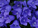 Flowers Seeds Campanula Carpatica Blue from Ukraine