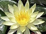 Amazing Live Aquatic Plant Water Lily Tuber For Fresh Water Pond Nymphaea inner Light Yellow Hardy W076 By Jayco **Buy 2 GET 1 FREE
