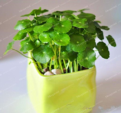 100 Water Plants Seeds Raw Culture Horseshoe Gold Coins Grass Species Four Seasons Germinate Easily Potted Hydrocotyle Vulgaris