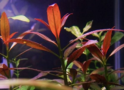 Image of Mainam Ludwigia Peruensis Diamond Red Star Ludwigia Bundle Freshwater Live Aquarium Plant Fish Tank Decoration 3 Days Live Guaranteed