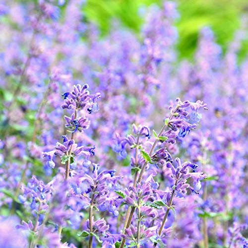 Cat Mint - Blue Moon - Herb Garden Seeds - 100 Seeds - Non-GMO, Open Pollinated Herbal Gardening Seeds - Nepeta nervosa 'Blue ()