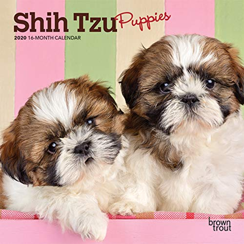Shih Tzu Puppies 2020 7 x 7 Inch Monthly Mini Wall Calendar, Animal Small Dog Breed Puppies