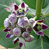 Calotropis procera, Giant Milkweed Tree, 10 seeds, Crown Flower, butterfly tree