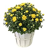 Kurt Weiss Greenhouses Live Yellow Mum Plant in an 8'' Basket