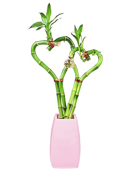 Amazon Double Heart Lucky Bamboo In Pink Vase Live Indoor
