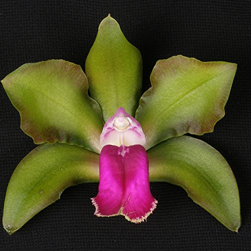 CATTLEYA MARK JONES 'NEWBERRY' X CATTLEYA BICOLOR 'MENDENHALL-BETA' 4N