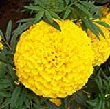 500 + Marigold Mexican Origin of Flower Seeds