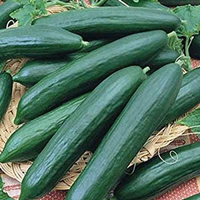 Burpless Cucumbers-Sweet & Crunchy!! Heavy Yields!!! GOOD!!!!!!!!!(50 - Seeds) : Garden & Outdoor